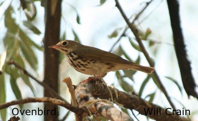 W. Crain - Ovenbird