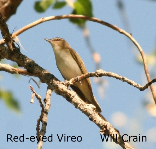 W. Crain - Red-eyed Vireo -