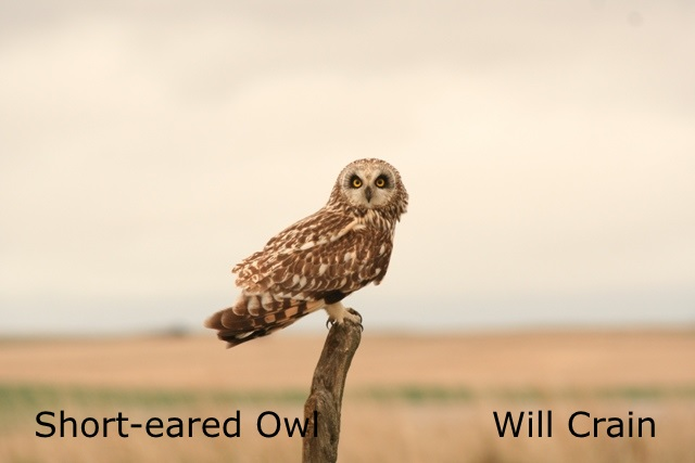 W. Crain - Short-eared Owl