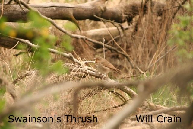 W. Crain - Swainson's Thrush