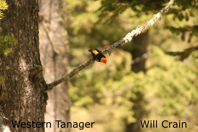 W. Crain - Western Tanager (2)