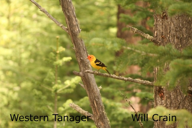 W. Crain - Western Tanager