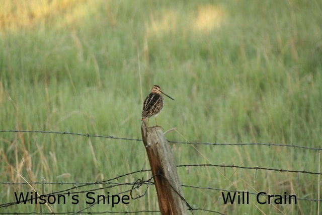 W. Crain - Wilson's Snipe