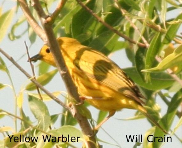 W. Crain - Yellow Warbler