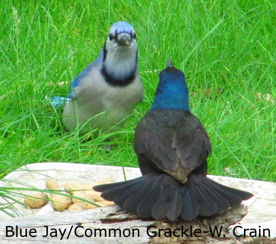 Blue Jay vs Com Grackle 1 - W. Crain
