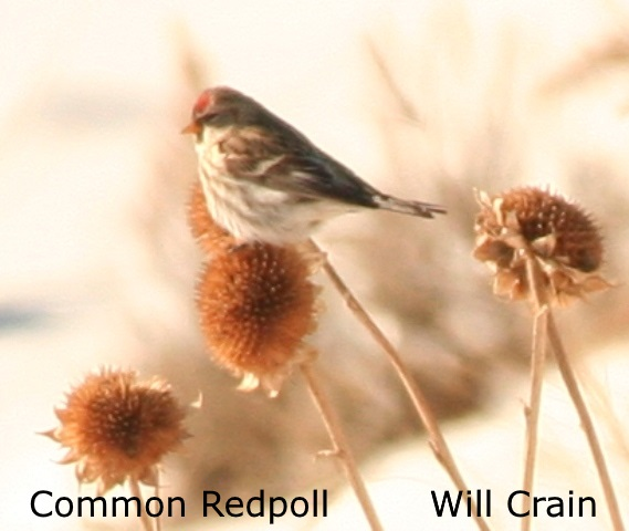 Common Redpoll 2 - W. Crain