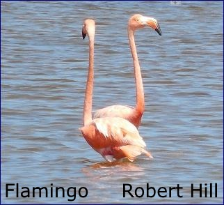 Flamingo Duet - R. Hill