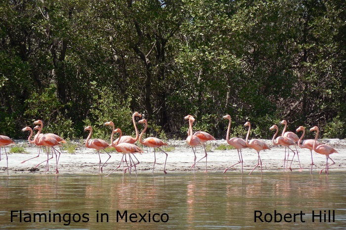 Flamingos 4 Mexico - R. Hill
