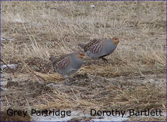 Grey Partridge - D. Bartlett snip