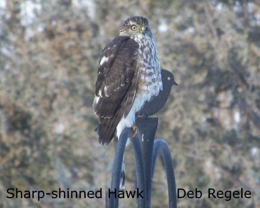 Sharp-shinned Hawk - D. Regele Resized