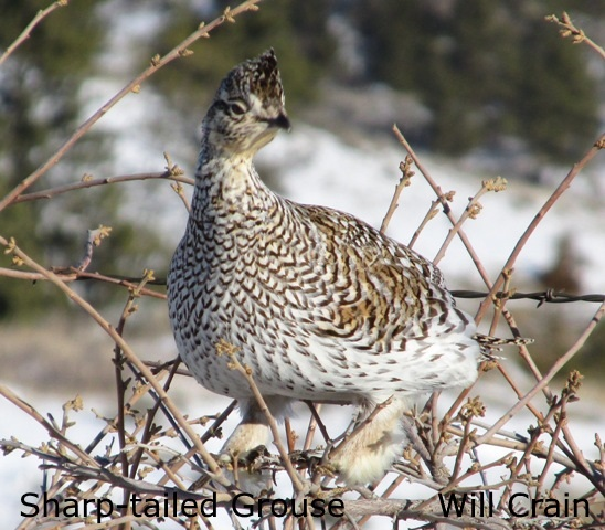 Sharp-tailed Grouse 2 - W. Crain