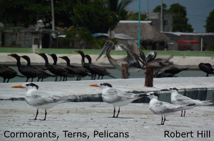 Terns and Cormorants Mexico - R. Hill
