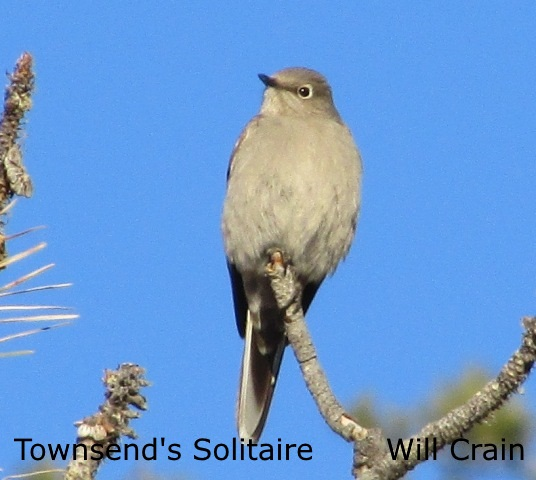 Townsend's Solitarie - W. Crain