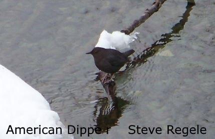 American Dipper 2 - SR