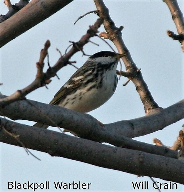 Blackpoll Warbler - W. Crain