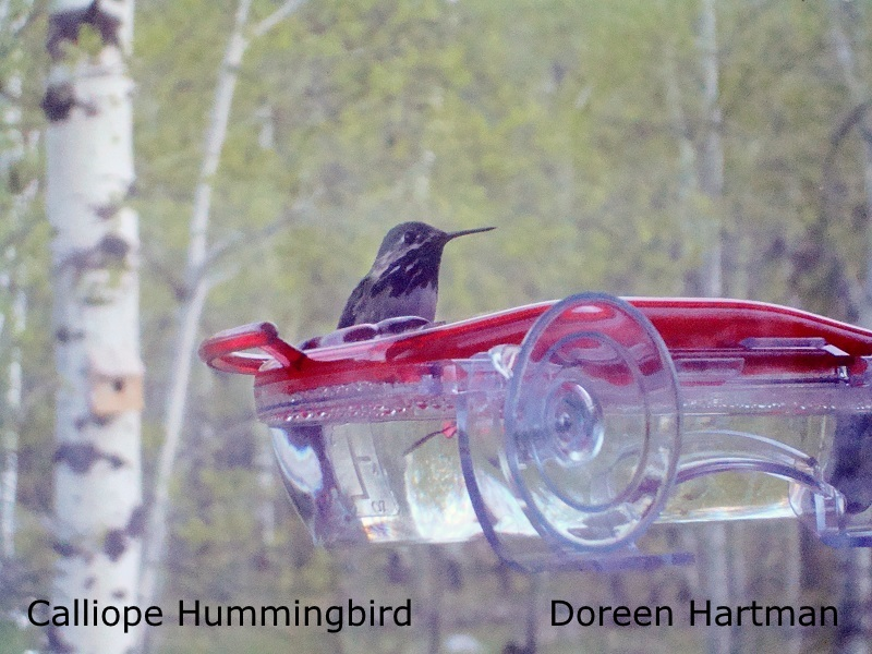 Caliope Hummingbird - Doreen Hartman