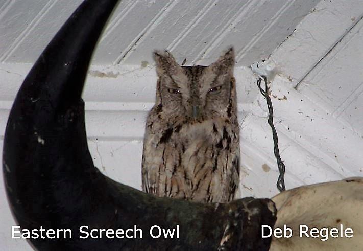 Eastern Screech Owl  2 - Deb Regele