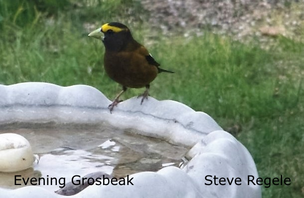 Evening Grosbeak  - Steve Regele