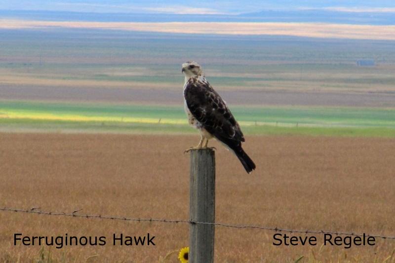 Ferruginous Hawl 2 - Steve Regele