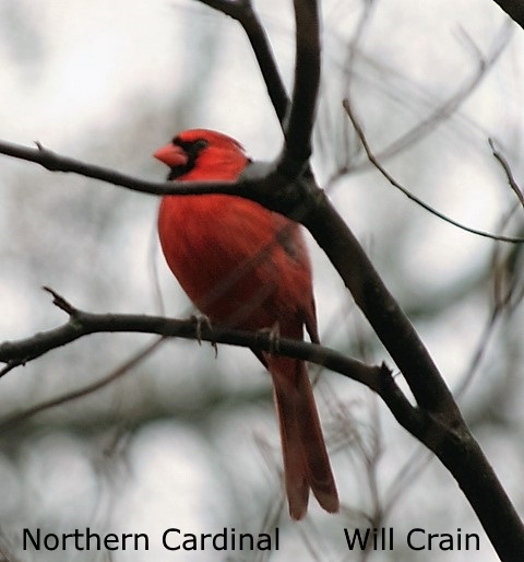Northern Cardinal 2 - Will Crain