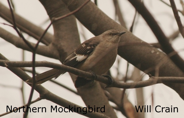 Northern Mockingbird 2- Will Crain
