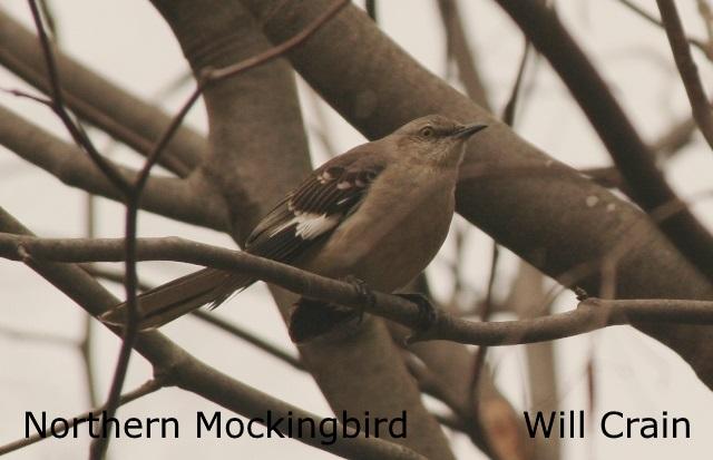 Northern Mockingbird 2- Will Crain