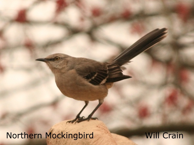 Northern Mockingbird - Will Crain