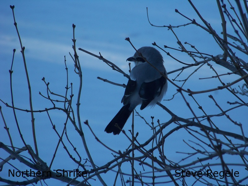 Northern Shrike - SR