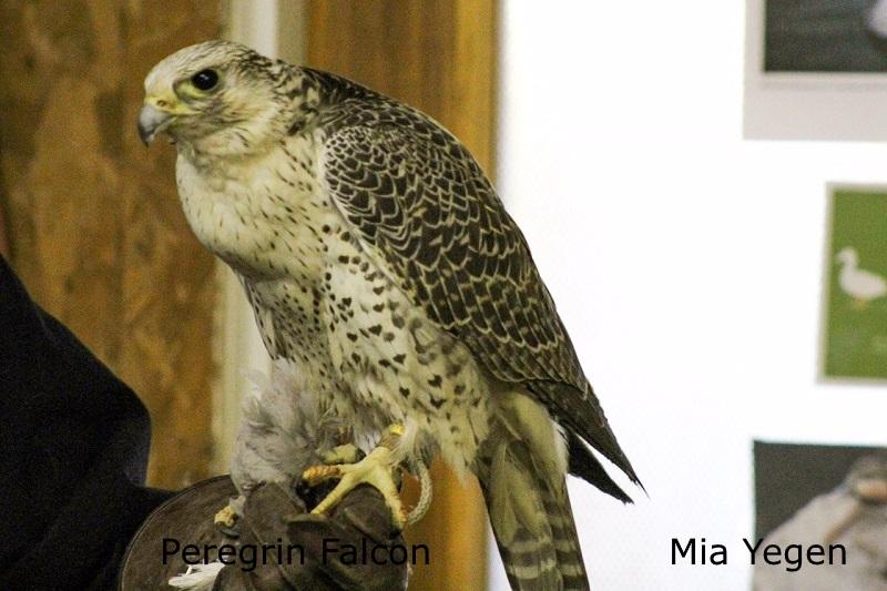 Peregrin Falcon - Mia Yegen