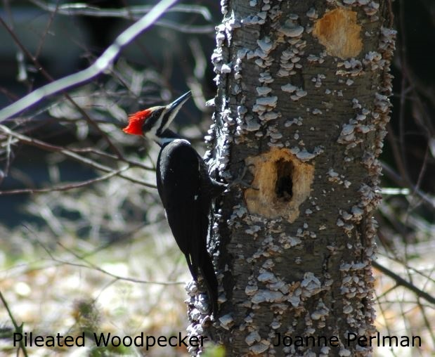Pileated Woodpecker - Joanne Perlman