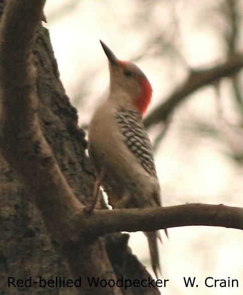Red-bellied Woodpecker - Will Crain