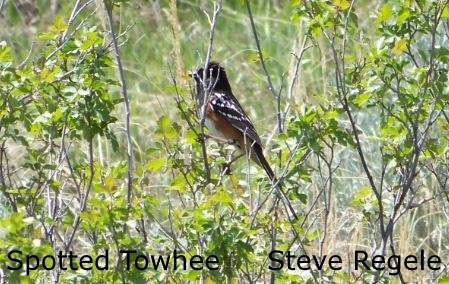 Spotted Towhee - SR