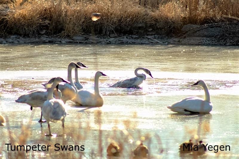 Trumpeter Swan - Mia Yegen