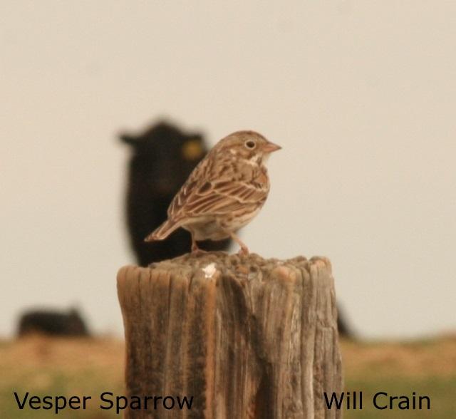 Vesper Sparrow - W. Crain