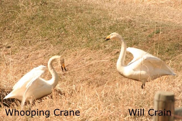 Whooping Crane - W. Crain