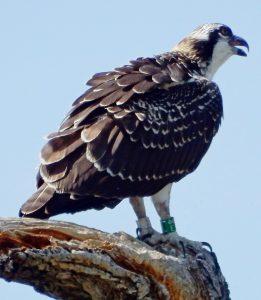 394-8-5-16-a-newly-fledged-banded-osprey-resized