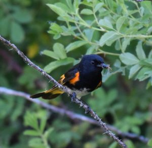 American Redstart Photo By Will Crain