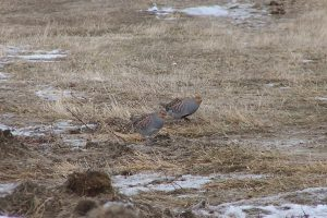 Gray Partridge Photo By Dorothy Bartlett