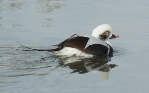 Long-tailed Duck Photo By George Mowat