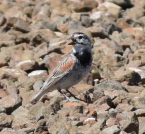 McCown's Longspur Photo By Will Crain