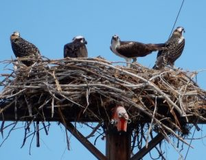 new-nest-oscars-8-11-16-ns-on-verge-of-fledging-or-tftf-g-mowat-resized