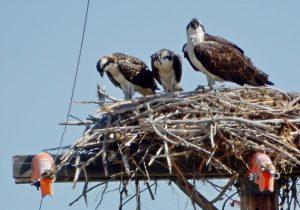 new-nest-oscars-8-2-16-nestlings-on-verge-of-fledging-resized-g-mowat