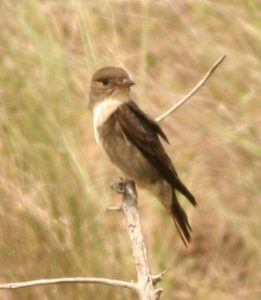 Olive-sided Flycatcher Photo By Will Crain