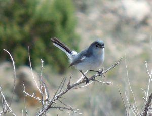 Blue-gray Gnatcatcher By Robert Hill
