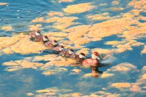 Ruddy Duck Photo By Steve Regele
