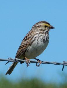 Savannah Sparrow Photo By George Mowat