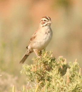 Lark Sparrow Photo By Will Crain