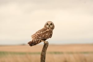 Short-eared Owl Photo By Will Crain