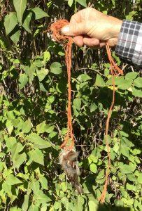 entangled-house-sparrow-resized-d-regele