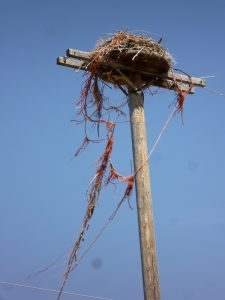 osprey-twine-nest-2-resized-m-restani